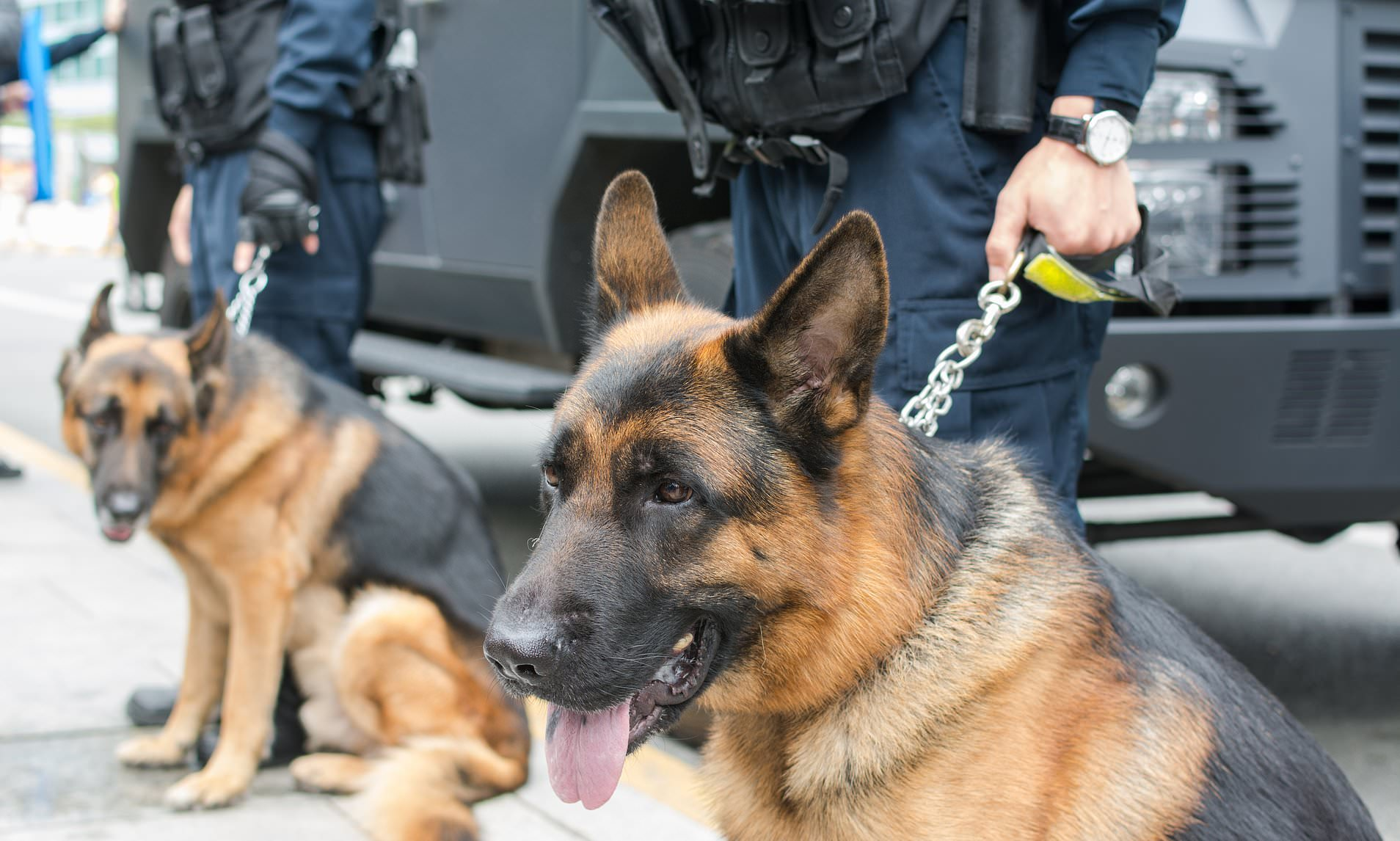 Dubai huấn luyện chó đánh hơi người nhiễm SARS-CoV-2, kết quả chuẩn tới 91% - Ảnh 1