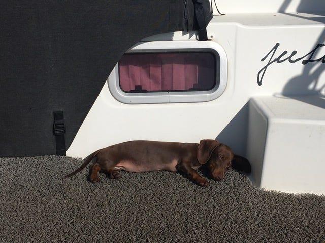Chú chó vượt 16.000 km tìm về với chủ nhân sau 5 tháng mắc kẹt ở Mỹ do COVID-19 - Ảnh 2