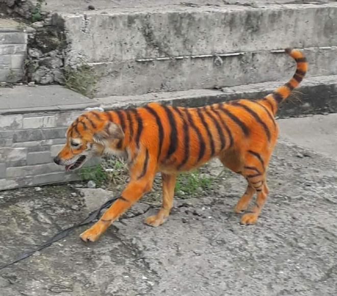"""Rụng rời vì """"con hổ"""" đi lại trong xóm, nhìn vào phần mõm của nó không thể nhịn được cười - Ảnh 2"""