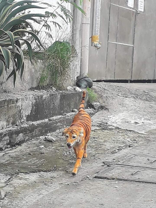 """Rụng rời vì """"con hổ"""" đi lại trong xóm, nhìn vào phần mõm của nó không thể nhịn được cười - Ảnh 4"""