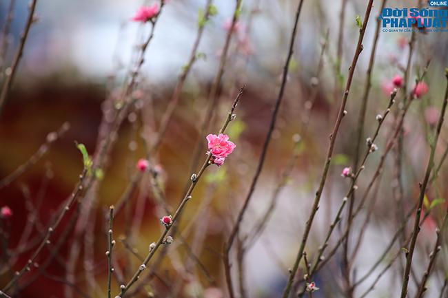 Thời tiết rét đậm, đào Nhật Tân xuống phố báo hiệu cái Tết đã cận kề  - Ảnh 9