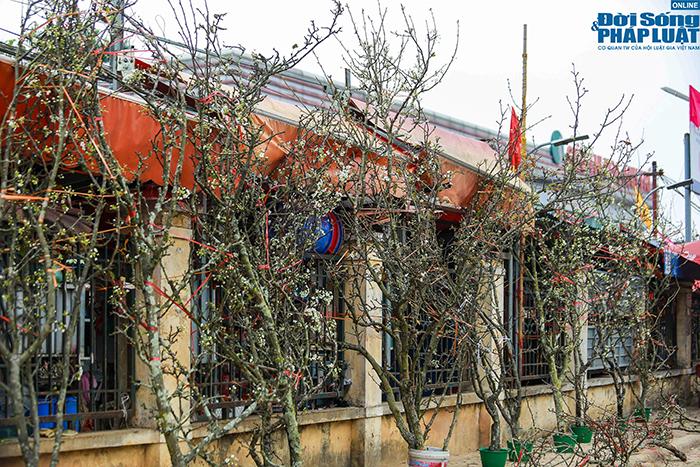 Hoa lê rừng xuống phố khoe sắc, nhà giàu Hà Nội đổ xô đi mua  - Ảnh 7