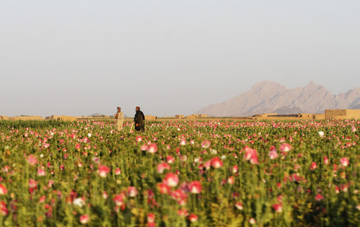 canh dong hoa thuoc phien o afghanistan dsp188