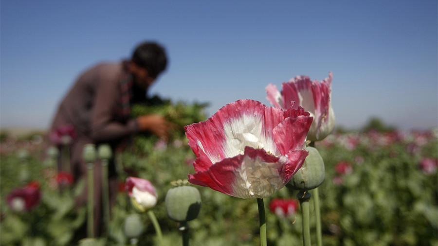 canh dong hoa thuoc phien o afghanistan dspl 6