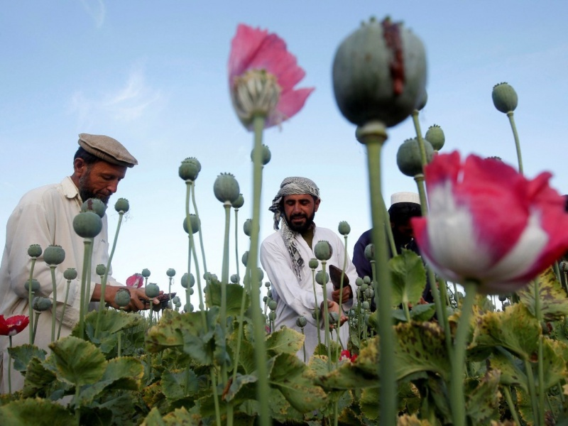 canh dong hoa thuoc phien o afghanistan dspl