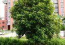 Cây Vàng tâm - Loại cây sắp được trồng khắp đường Hà Nội