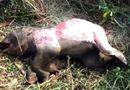 Tin trong nước - Phát hiện voi rừng 100kg chết bị lột da, cắt 4 đế chân