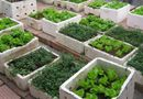 Sức khoẻ - Làm đẹp - Cảnh báo nguy cơ rau tự trồng nhiễm độc