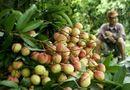 Thị trường - Vải thiều sang Pháp: Việt kiều rưng rưng nếm trái quê hương