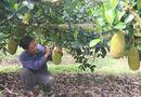 Thị trường - Vì sao nông dân Đồng Nai đồng ý bán mít giá 600 đồng/kg?
