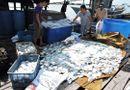 Tin trong nước - Cá chết trắng bè, người nuôi cá đem đến đổ trước nhà máy
