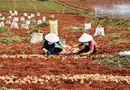 """Thị trường - Khoai tây Trung Quốc bị """"cấm cửa"""" tại Chợ nông sản Đà Lạt"""