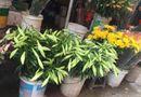 Ăn - Chơi - Hoa loa kèn rộn ràng xuống phố gọi mùa hè