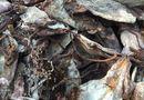 Tin trong nước - Thanh Hóa: Hàng chục tấn mực thối trên đường ra Bắc bị phát hiện
