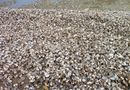 Miền Trung - Hàng tấn sò lông đã chết lần đầu tiên trôi dạt vào bờ biển Hà Tĩnh