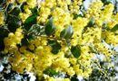 Tây Nguyên - Đà Lạt và truyền thuyết loài hoa trinh nữ vàng