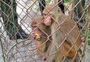 Tài nguyên - Thả 4 cá thể khỉ vàng về rừng