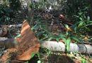 Tài nguyên - Hạ cây, xẻ gỗ trong rừng phòng hộ Minh Hóa