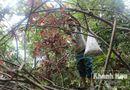 Tài nguyên - Tận diệt rừng ươi vì giá ươi tăng cao