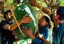 Tin trong nước - Bí đao khổng lồ nặng gần tạ ở Bình Định