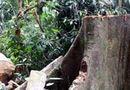 Miền Trung - 4 người chết vì đổ xô vào rừng khai thác ươi