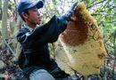 Miền Trung - Phú Yên: Đua nhau vào rừng săn mật ong bán giá 1 triệu đồng/lít