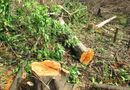Tin pháp luật - Đốn gỗ trái phép, Trưởng BQL rừng phòng hộ Phan Thiết bị bắt