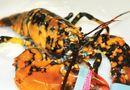 Tin thế giới - Phát hiện tôm hùm màu cam chấm đen cực hiếm ở Anh