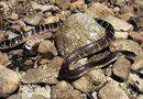 Tin thế giới - Người cắn chết rắn cạp nong cực độc