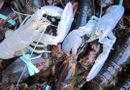 Tin thế giới - Bắt được  hai con tôm hùm bạch tạng cực kỳ quý hiếm ở Mỹ