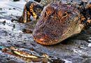 Tin thế giới - Cá sấu khổng lồ nhận thất bại đau đớn trước chú cua nhỏ bé
