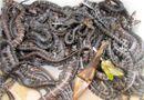 Thị trường - 100.000 đồng/con rắn giống hút người nuôi miền Tây
