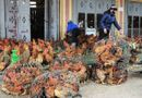 Thị trường - Gà miền Nam ngập tràn chợ Bắc
