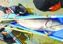 Tin thế giới - TQ: Bắt được cá tầm khổng lồ dài 3,3 mét trên sông