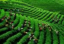 Thị trường - Công ty Đài Loan bác tin đồn trà VN nhiễm dioxin
