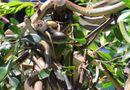 Sức khoẻ - Làm đẹp - Cận cảnh hàng trăm con rắn lục đuôi đỏ ngụy trang trên cây