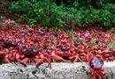 Tin thế giới - Cảnh tượng hơn 100 triệu cua đỏ bỏ rừng ra biển