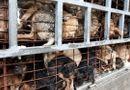 Video-Hot - Video: Truyền hình nước ngoài sốc với nạn trộm chó ở Việt Nam