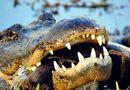Video-Hot - Video: Kinh hoàng trăn Miến Điện hỗn chiến với cá sấu khổng lồ