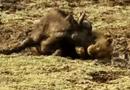 Video-Hot - Trâu rừng cuồng nộ húc bay sư tử cái cứu bạn