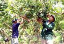 Bí quyết làm giàu - Nhãn muộn Khoái Châu mùa quả ngọt