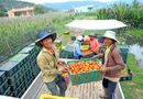 Thị trường - Giá cà chua tăng cao kỷ lục