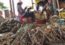 Thị trường - Thương lái ép giá bán tôm hùm trong mùa mưa bão
