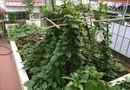 Đời sống - Vườn rau 50m2 ăn không xuể của bà mẹ Hà thành