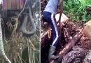 Video-Hot - Nhổ cây, suýt té xỉu vì lôi lên cả một con trăn khổng lồ