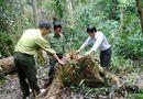 An ninh - Hình sự - Bắt giam ba tháng đối tượng chủ mưu chặt hạ 13 cây gỗ quý ở Bình Định
