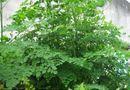 Mách bạn cách trồng cây chùm ngây trong thùng xốp tươi tốt quanh năm
