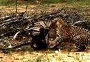 Video-Hot - Bị rắn độc khoá chặt, đại bàng chết thảm dưới nanh báo