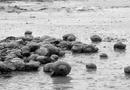 """Tin trong nước - Sau lũ lịch sử, """"đại dịch"""" ốc bươu vàng khiến nông dân khóc ròng"""