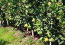 Bí quyết làm giàu - Phật thủ mất mùa, giá cả triệu đồng mỗi trái